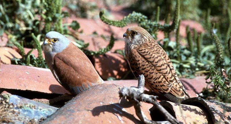 Casal de francelhos Falco naumanni, com o macho à esquerda (® Carlos Carrapato).